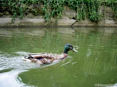 duck-in-oxford